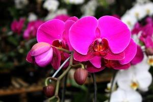 aprenda-a-cultivar-orquideas
