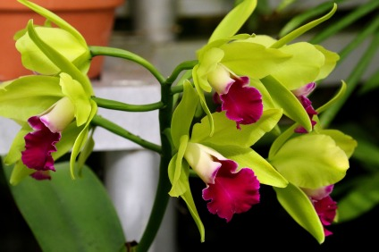 cuidar e cultivar orquideas